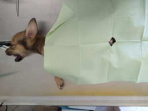 Puppy sterilization